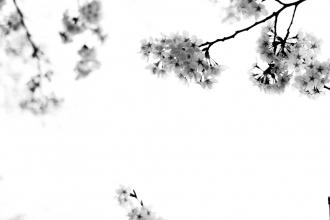 Kyoto - Sakura - Cherry Blossom - 2012